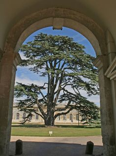Cedar of Lebanon Tree, Woburn Abbey, Bedfordshire, England. Seat of the Duke of Bedford.