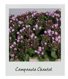 Campanula Chantal | New Arrival | Available in our webshop www.holex.com | Insights, your weekly floral update!