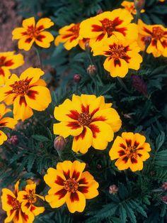 French Marigolds Good Companion Plants in Garden