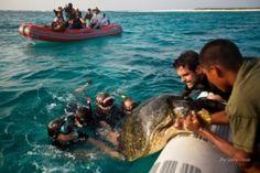 Rescate de Tortugas Marinas en el litoral Central,Venezuela.