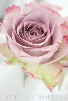 pink rose So beautiful! Love it!