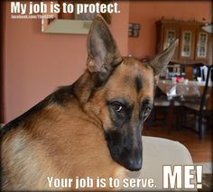 #gsd is boss here - they will look at you this way sometimes and they mean it. They must always know who is boss, in a respectful loving way to them - they demand it. Very, very smart. Oh, I know this look so VERY well!