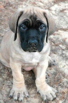 English Mastiff pup.  This looks just like Roxy did as a puppy!  I love my Mastiffs!