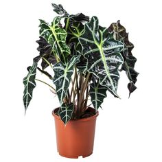 IKEA ALOCASIA AMAZONICA Potplant
