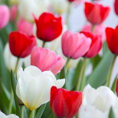 Tulip Darwin Hybrid Blend Dutch Boy from Colorblends Wholesale Flowerbulbs - Year of the Tulip - National Garden Bureau