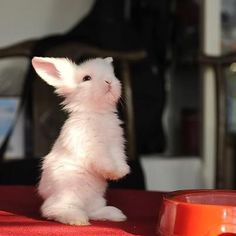 Immagine di rabbit, bunny, and cute animals Cute Creatures, Beautiful Creatures, Animals Beautiful, Baby Bunnies, Cute Bunny, Bunny Rabbits, Bunny Bunny, Lionhead Bunnies, Fluffy Bunny