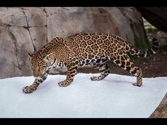 #Big_Cats Enjoy a #Snow Day at the #San_Diego #Zoo http://ibeebz.com