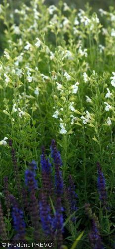 Salvia greggii 'Alba'. Nom commun : Sauge de Gregg, Autumn sage    Forme, très résistante à la sécheresse avec une belle fleur blanche.