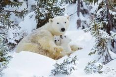 Polar Bear Huddled in Snow, with Two Cubs Photographic Print at Art.com