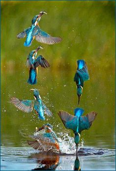 Ciclo de pesca de un Martin pescador (Alcedo atthis). Fishing cycle of a kingfisher. Pretty Birds, Love Birds, Beautiful Birds, Animals Beautiful, Cute Animals, Beautiful Things, Photo Animaliere, Tier Fotos, Mundo Animal
