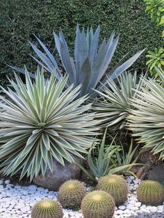 Macarthur palm palmier multipliant bamboo ptychosperma macarthurii 7m narrow trunks plant for Tropical smoothie palm beach gardens