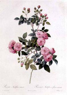 Image: Pierre Joseph Redouté - Rosa Multiflora Carnea