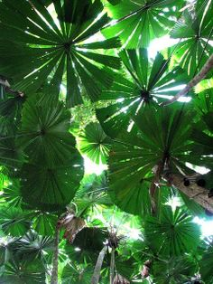 In the rainforest at Cape Tribulation, Queensland, Australia