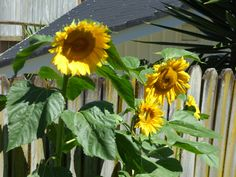 Giant Sunflower, Order Prints, Just For You, Buttons, Awesome, Artwork, Plants, Work Of Art, Auguste Rodin Artwork