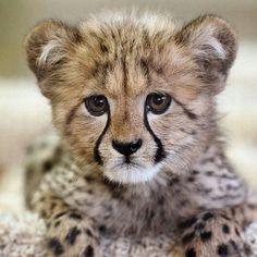 Baby cheetah♥