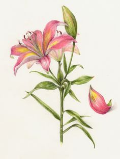 Lily. From the collection of botanical illustrations of flowers by Wendy Hollender.