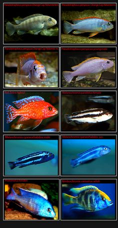 African Cichlids-Page-7-NEW-Pics-only