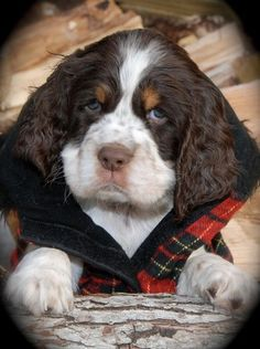Cocker Spaniel puppies are the cutest