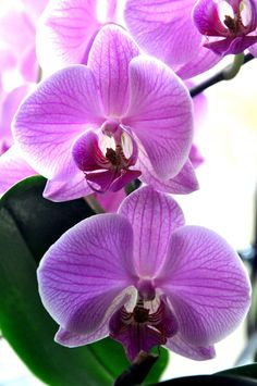 PriNceSSe OrChiDee by Fre-D