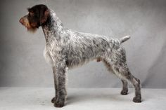 Oakley the Pointer (German Wirehaired - sporting). Oakley, registered as Mt Views Ripsnortersilvercharm, is owned by Victor Malzoni Jr. (Fred R. Conrad, a New York Times photographer, set up a studio at the 2013 Westminster Kennel Club dog show and invited Best of Breed winners to pose.)