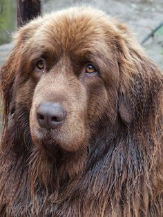 newfies | Newfoundland dog portrait by *pagan-live-style on deviantART