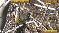 The Yellow Rumped Warbler in the low lying brush of the Everglades. Tiny Bird, Yellow, Green, Beautiful