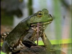 Nat Geo video on what frogs eat- My kids have to see this! Ugh! Tie in with frog and toad nonfiction