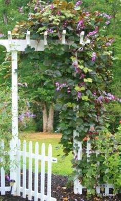 Hyacinth bean vines grow over our back garden gate. Shasta daisies & zinnia bloom in the foreground. In the background is a flowering butterfly bush.