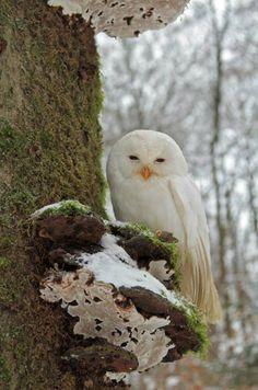 White Tawny owl (strix aluco