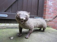 When Taxidermy Goes Wrong - 26 Pics Creepy, Scary, Dump A Day, Live Animals, Ferret, Infinite, Bed, Horror, Community