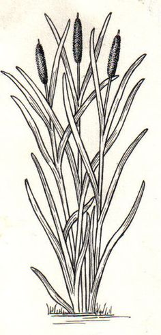 Drawings of Cattails | Description Cattail (PSF).jpg