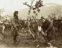 Reindeer being milked by the Sami, most of this milk will be made into houmiss or alcoholic yoghurt