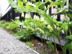 Between West 25th and West 27th Streets, the Flyover rises over a variety of shade-loving plants, like Solomon's seal.