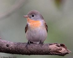 Red-breasted Flycatcher (Ficedula parva), Bharatpur, Jan. 2015