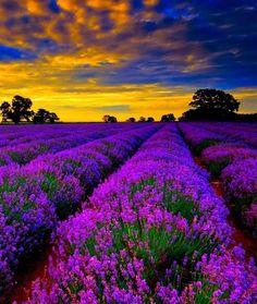 Beautiful Lavender Fields – France