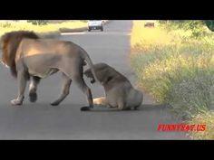 Wild Lion apareamiento