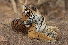 Indian tiger population up 6% to c.2,200 say experts but more measures required to maintain delicate ecological balance and future of wild tigers  Noting a 6% rise in the tiger population in the country, experts on Tuesday suggested a need for greater flexibility to increase habitat for the feline for their protection.  Speaking at the national workshop on monitoring systems for tigers intensive patrolling and ecological status, Y. V. Jhalla, principal scientist of the Wildlife Institute of…