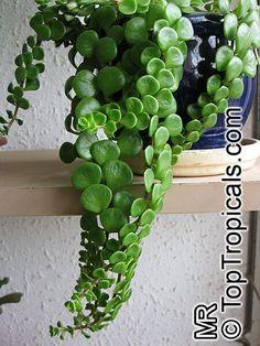 Sedum tetractinum, Chinese Sedum