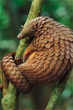 """Pangolin ~ Little is known about this shy, endangered species. ~ Miks' Pics """"Animals ll"""" board @ http://www.pinterest.com/msmgish/animals-ll/"""