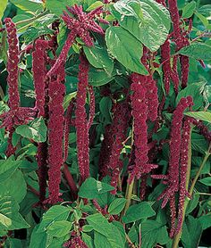 Amaranthus, Love Lies Bleeding Brilliant red seed heads dangle like dreadlocks. HEIRLOOM. Brilliant red seed heads dangle like dreadlocks from the tops of sturdy, 3-5 ft plants. They hold their color a long time, and are great in arrangements. Plant at the back of a bed with big tropicals like cannas, celosias, ornamental corn or castor bean. Amaranthus needs heat and a long season. Start in containers and set out 6-week plants after frost. The seed is tiny and takes two weeks to…