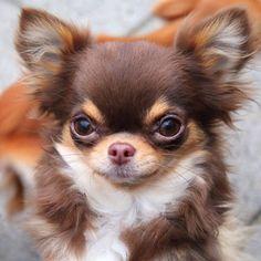 Chihuahua beauty