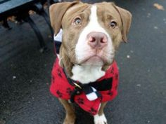 TO BE DESTROYED 1/21/14  Manhattan Ctr -P  CHUBBLES  A0989363 Male tan & white pit mix 3 YRS old STRAY 1/11/14Likely housetrained, This handsome little man is sweet, friendly, and always excited to take a walk. Guarding issues w/ food as a stray-common for survival, retrainable! Would benefit from doggy socializing. If you are looking for a warm hearted companion w/ love & affection to spare, Chubbles is the dog for you!