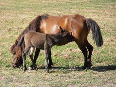 Dinner is served, Nursing foal, Nursing horse, Newborn mule by tjmccarty on Etsy