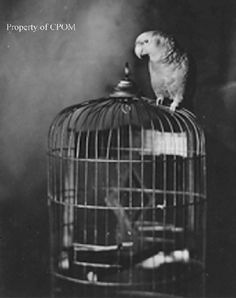 Vintage Parrot 'History' by Sally Blanchard. Photos, Illustrations, Art, other info.