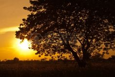 8911475-a-trees-silhouette-at-sunset-at-sunflower-field.jpg (450×300)