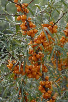 Odrůdy rakytníku