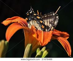 Tiger Swallowtail in Day Lily