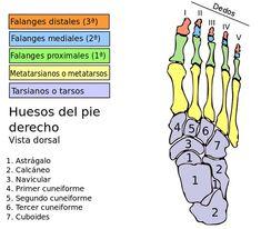 cuantos huesos en manos y pies