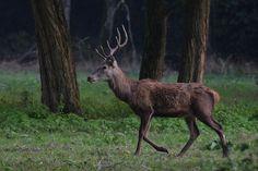 cervo maschio by Tiziana Rea on 500px