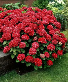 Buy ornamental shrubs now Hydrangea 'Fireworks' Hydrangea Macrophylla, Hortensia Hydrangea, Red Hydrangea, Hydrangea Care, Bright Flowers, Red Flowers, Beautiful Flowers, Garden Shrubs, Garden Plants